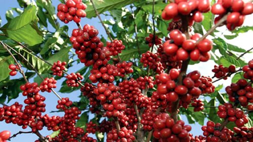 Approximately 3 to 4 years ,the coffee trees can bear fruit